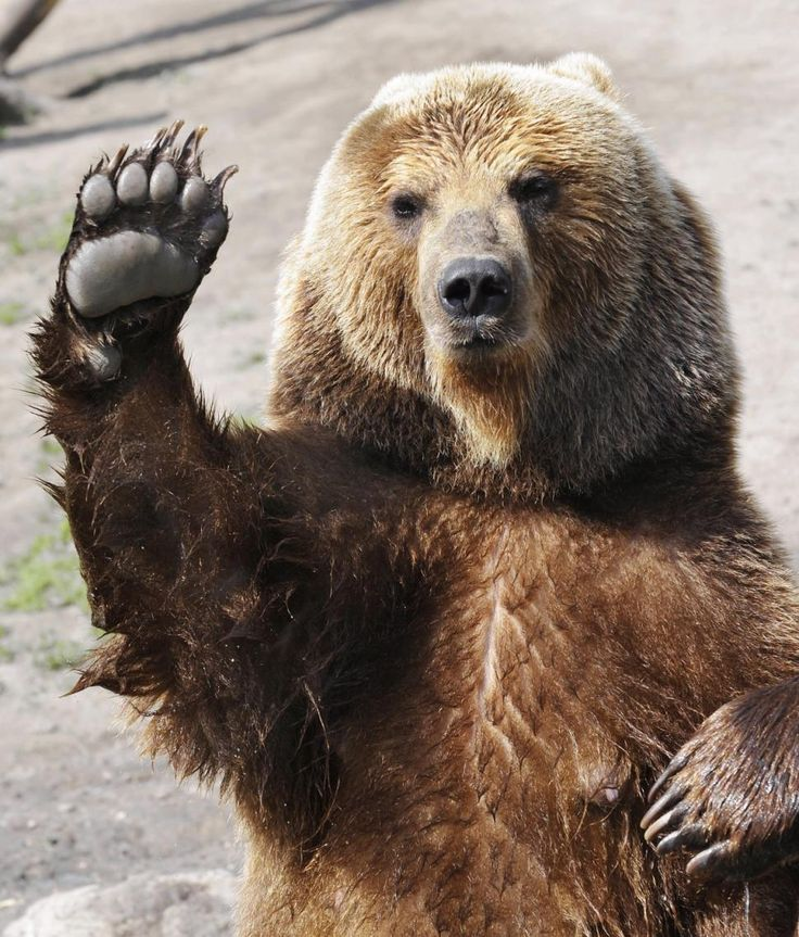 This bear is kind of funny looking. He looks like he's waving at something, but just like any animal they can look cute and still be really dangerous and scary.
