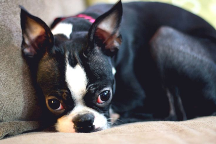 Violet! Boston terrier love ~ re-pinned by bostonterrierchecks.com