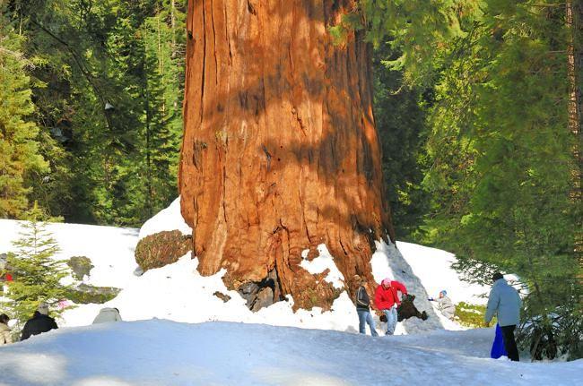 Sierra Nevada Mountains, base of Sequoia tree