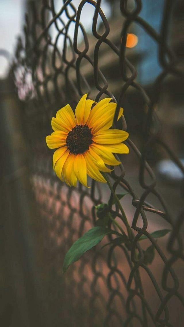 Pin by Alejandra Herrera on just for fun Sunflower
