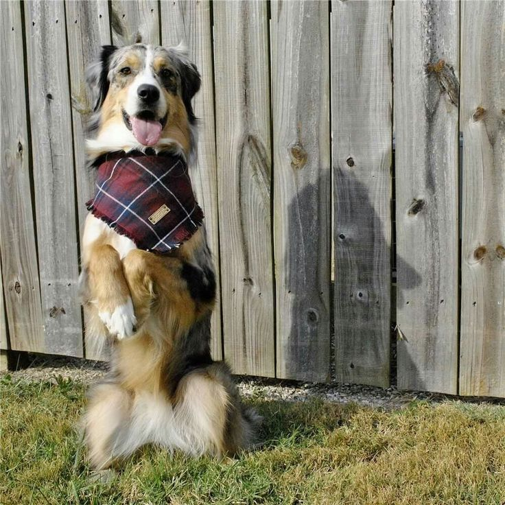Australian Shepherd sitting pretty