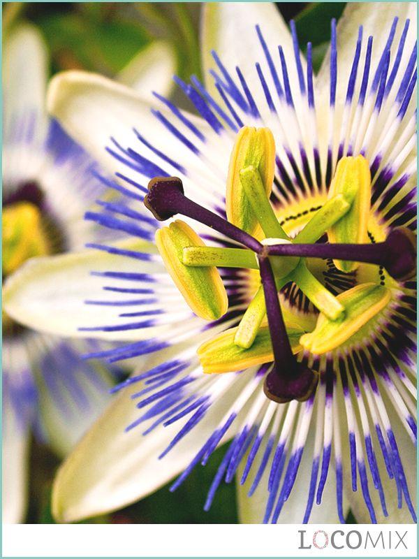 Een kleurrijk bloem is de Passiebloem! Of je nu voor weckpotjes, gietertjes of een ander groen bedankje kiest, de passiebloem zaadjes zijn een leuke toevoeging aan je groene bedankjes.