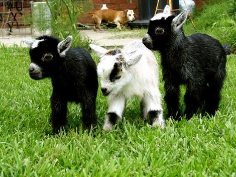 Goats! Baby goats!