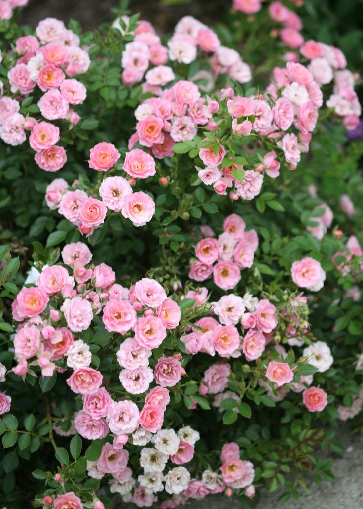 Oso Easy® Petit Pink - Landscape Rose - Rosa x | Proven Winners