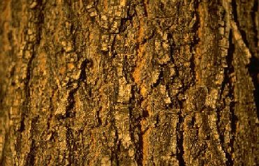 Learn about tree bark in a Science Curriculum for Preschool and Kindergarten with 75 free complete lesson plans online
