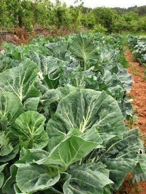 Como plantar couve. A couve é uma planta muito utilizada na culinária, especialmente para sopas ou acompanhamento de alguns pratos. Tem inúmeros benefícios e, por isso, deve fazer parte da composição de uma dieta equilib...