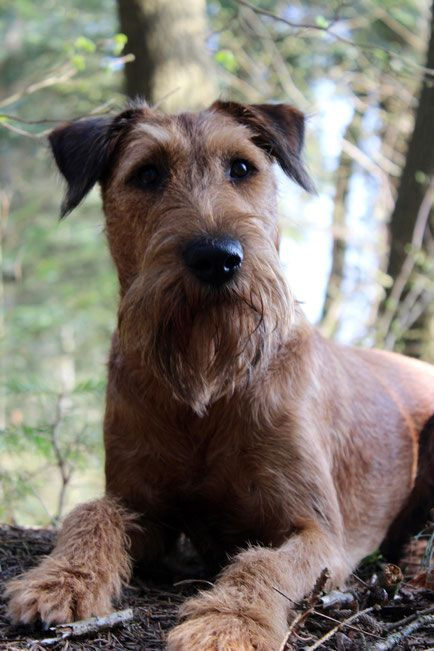 Irish Terrier ALTO - martinaelsners Webseite!