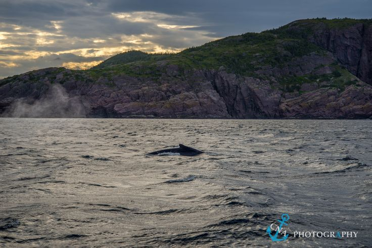 A whale coming up for air along the coast of St. John's, Newfoundland