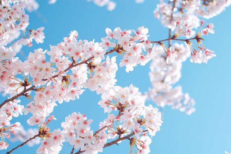 Primavera Jardíns Cereza Floración de árboles Sakura (cerezo) Naturaleza Flores