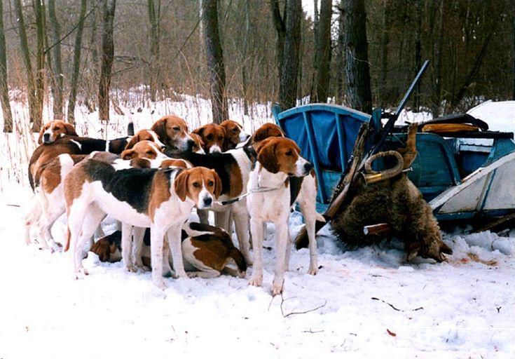 Русская гончая (фото): Идеальная собака для тех, кто любит охоту, и не только Смотри больше http://kot-pes.com/russkaya-gonchaya-foto/