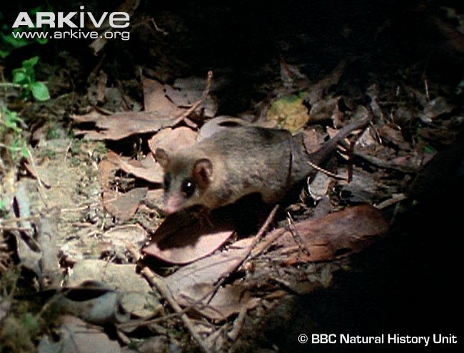 The Monito del monte, or 'monkey of the mountains', is not a monkey, but a South American marsupial, which has often been called a 'living fossil' due to it being the only living member of an otherwise extinct order, the Microbiotheria. (2 photos & 4 videos)