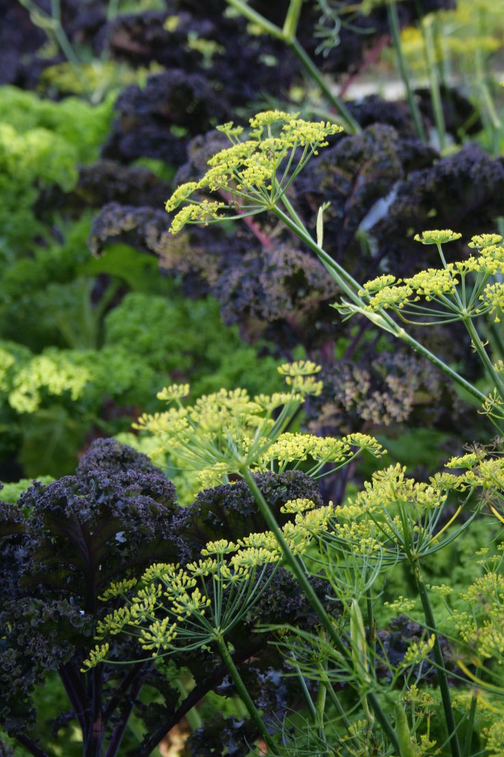 Plant combinations, plant combos, color and texture, Cabbage and dill