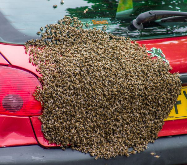 A motorist who is terrified of bees had the shock of her life - after 5,000 of them made her car boot their home. The swarm invaded the car in Penryn, Cornwall, and the drama was captured by car owner Kelly-Marie's neighbour and photographer, Philippa Starkey.