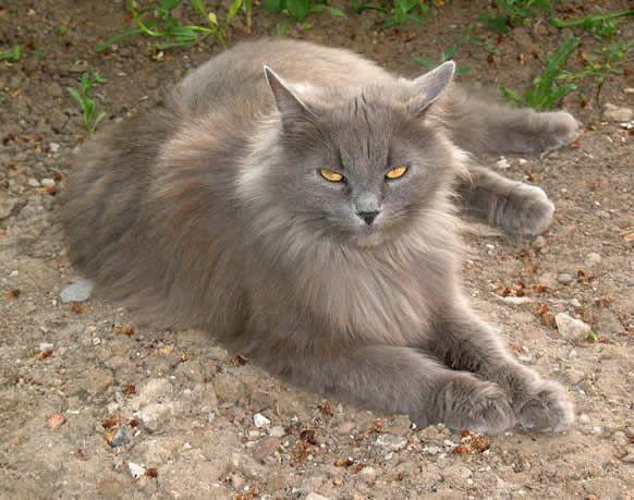Le chat Sibérien - Blog des Animaux de compagnie http://www.animalcompagnie.com/siberien-cat.html