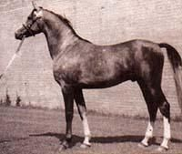 Read more: What Price Preservation? by Betty Finke  ... remember that once upon a time, Arabian breeding by definition was preservation breeding.  ORAN: Oran, foaled in 1940, was the last Crabbet stallion that traced exclusively to the original horses imported by the Blunts.