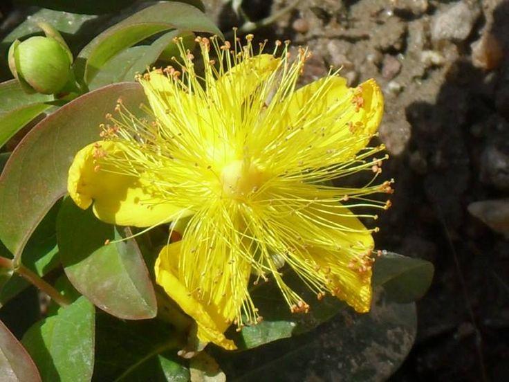 Rosa-de-Sharon (Hypericum calycinum L.)