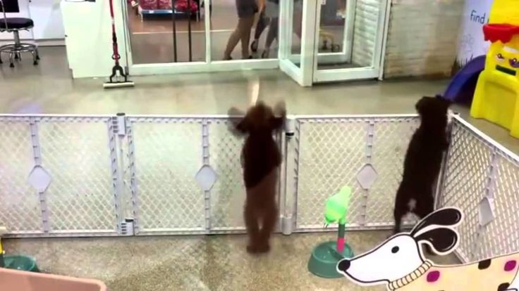This Excited Dog Does A Hilarious Salsa Dance When He Sees His Returning Owner.