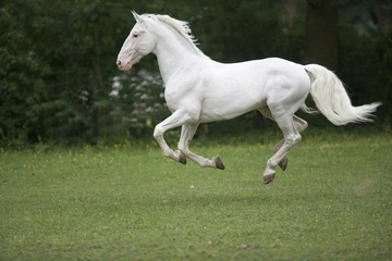 White Kladruber