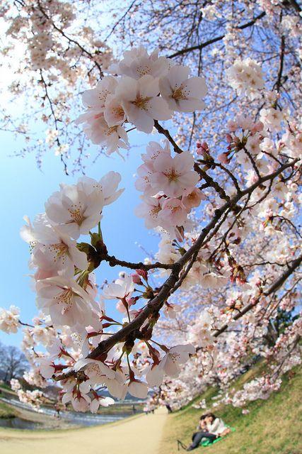 Cherry blossoms along the Kamo River, Kyoto, Japan