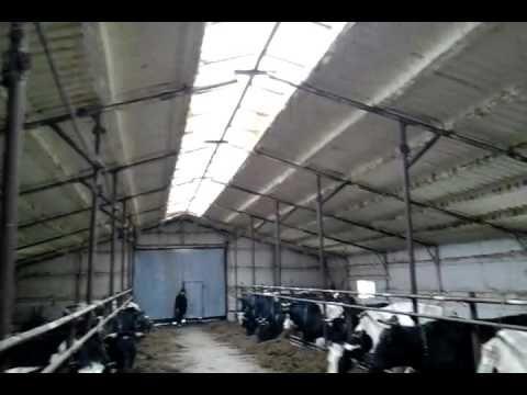 Чёрно пёстрая молочная порода коров    продажа 8965617005 WhatsApp