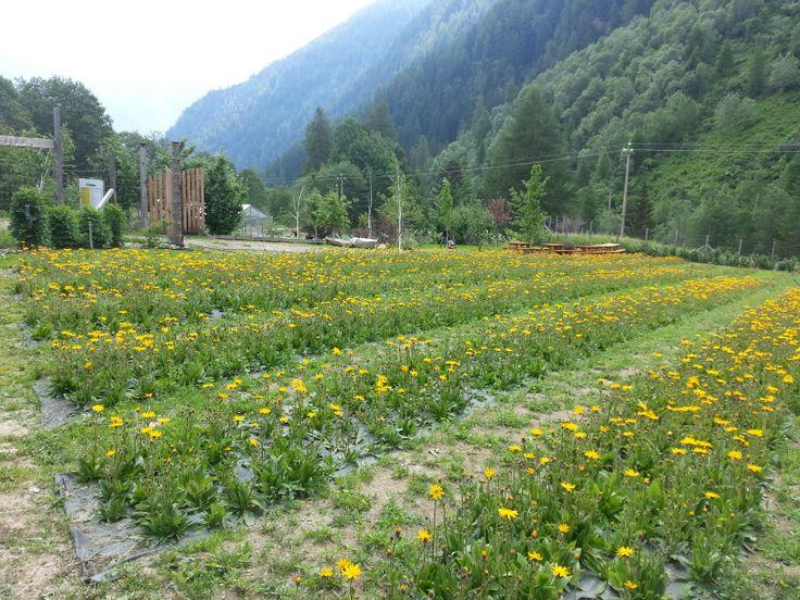 coltivazione di arnica, pianta officinale