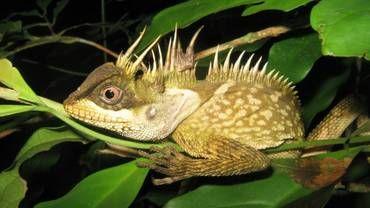 Photo en date du 15 septembre 2014 fournie le 19 décembre 2016 par WWF d'un lézard figurant parmi 163 nouvelles espèces découvertes en 2015 en Thaïlande