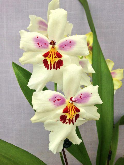 Oncidiinae Orchids | 14115618525_cb99303480_z.jpg
