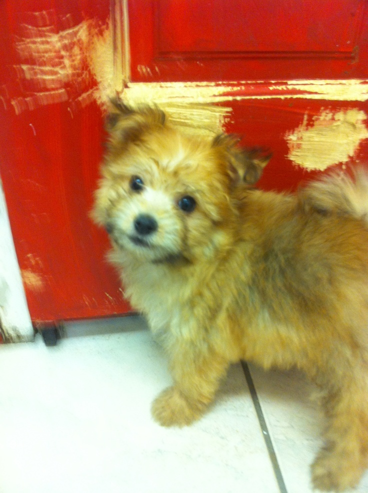 This is My adorable puppy she is a Pomeranian/Poodle mix they call her a pomapoo this was her when she was a baby  in the pet shop
