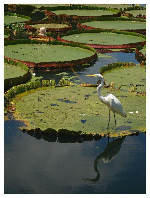 Victoria Amazonica by andre_luizs - Belém, Pará, Brazil.