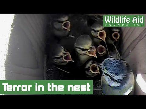 Woodpecker attacks baby birds - YouTube