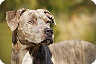 Whites Creek, TN - Plott Hound/American Bulldog Mix. Meet Clive, a dog for adoption. http://www.adoptapet.com/pet/11937097-whites-creek-tennessee-plott-hound-mix