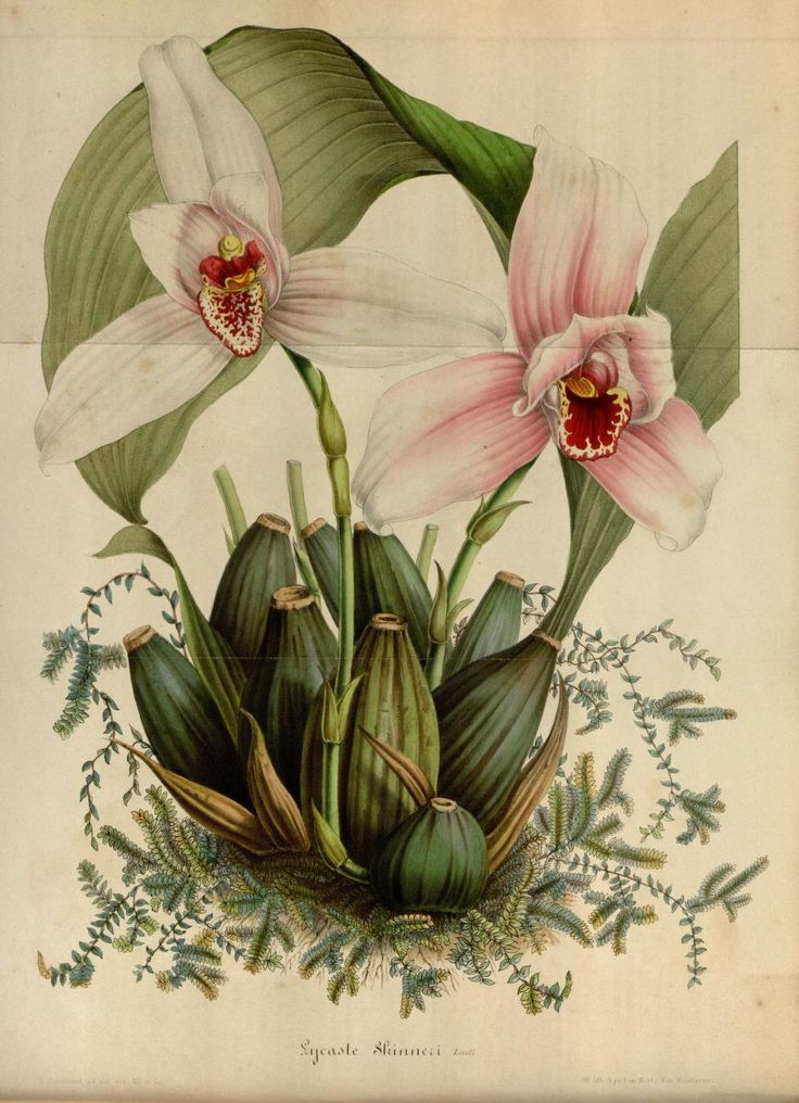 v.4 (1848) - Flore des serres et des jardins de l'Europe - Biodiversity Heritage Library- the flower heads look like roaring monsters