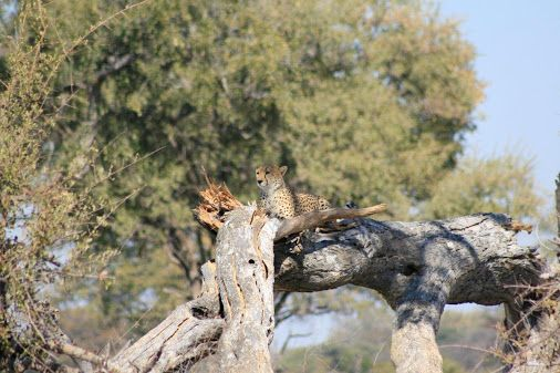 Cheetah chilling on a dead raintree #Linkwasha #Hwange #Zimbabwe #safari