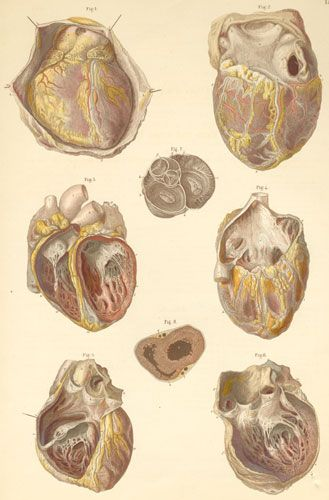 Plate 16: Heart and its openings.