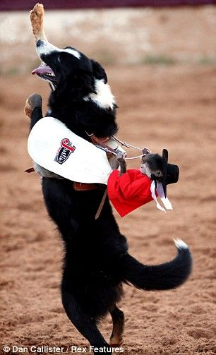 Whiplash the Cowboy Monkey was the true star of this year in Big Spring. Texas