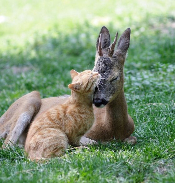 Cat grooming a fawn---TOO CUTE NOT TO REPIN!