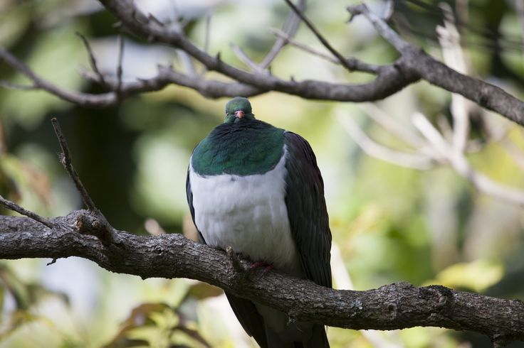 NZ Woodpigeon or Kereru chowing down on the White Mulberry leaves here at Wharepuke.