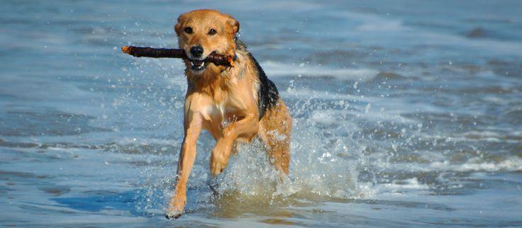 """Urlaub mit Hund auf Norderney ►►  Norderney ist das ideale Urlaubsdomizil für einen Urlaub mit Hund. Sie können viele Aktivitäten gemeinsam mit ihrem Hund unternehmen – so wird der Aufenthalt auf Norderney für alle zum unvergesslichen Erlebnis. Am Norderneyer Weststrand erwartet vierbeinige Urlauber eine eigene Hundewiese, am Ostbadestrand """"Weiße Düne"""" und am FKK-Strand auf Norderney dürfen Hunde sogar mit an den Strand kommen. Weitere Details zu den Stränden auf Norderney."""