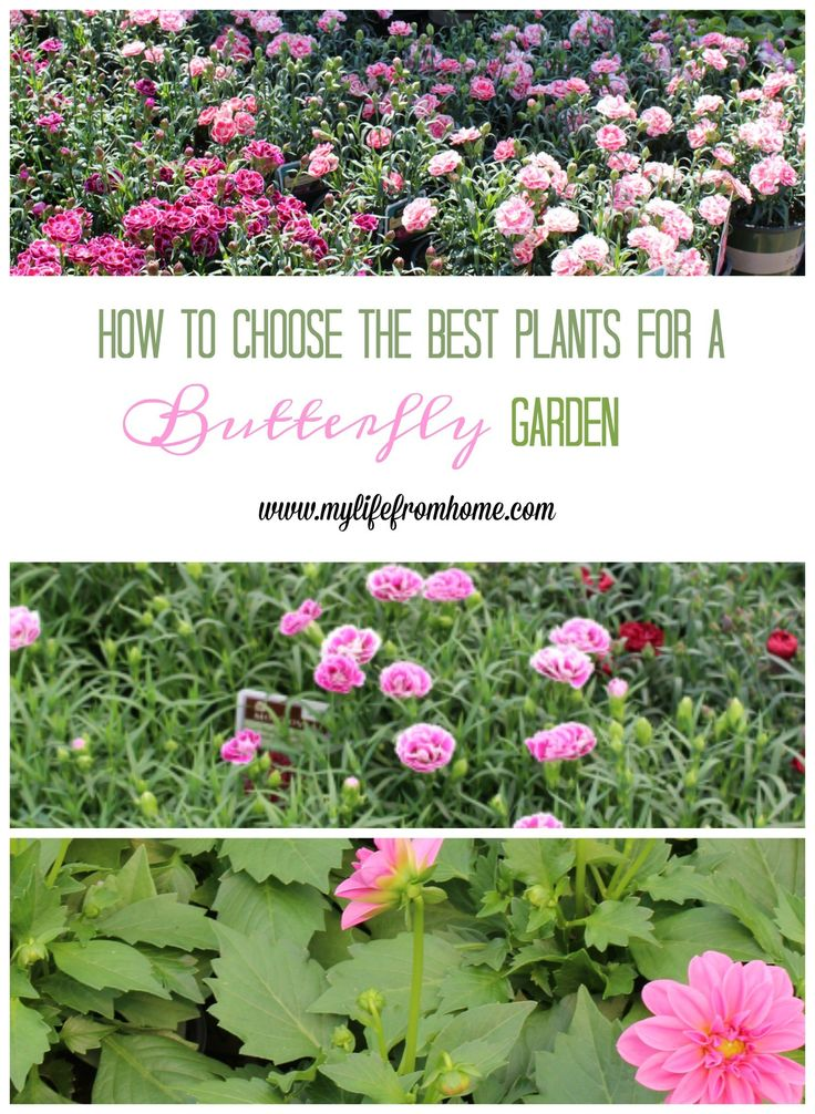How to Choose the Best Plants for a Butterfly Garden- butterflies- plants that attract butterflies- gardening- plants- flowers- perennials- butterfly plants- Monrovia- #ad