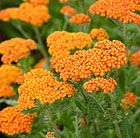 Achillea 'Walther Funcke' yarrow Position: full sun Soil: well-drained, including dry Rate of Growth: average Flowering period: June to September Hardiness: fully hardy H: 60cm S: 60cm