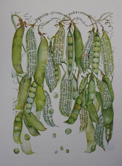 Garden Peas, Sara Midda, 2008: Expirement with combining text notes into your drawings and explorations!