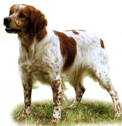 Собаки охотничьей породы бретонский эпаньоль - фото.