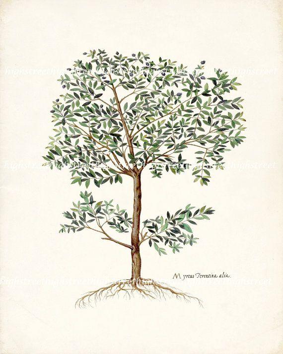 Vintage Italian Olive Tree Botanical Illustration -  Natural History Wall Decor Art Print 8x10