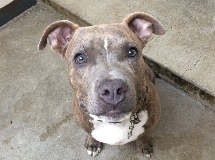 American Pit Bull Terrier dog for Adoption in pomona, CA. ADN-657387 on PuppyFinder.com Gender: Male. Age: Adult