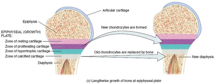 Bone Growth:  Elongation of the bone is due to the epiphyseal plate.  Epiphyseal plates can be located at one or both ends of a long bone. The epiphyseal plate is a region of transition from cartilage to bone and functions as a growth zone. The four zones within the epiphyseal plate are the zone of reserve cartilage, zone of cell proliferation, zone of cell hypertrophy, zone of calcification, zone of bone deposition.  The epiphyseal plate eventually turns into the epiphyseal line.