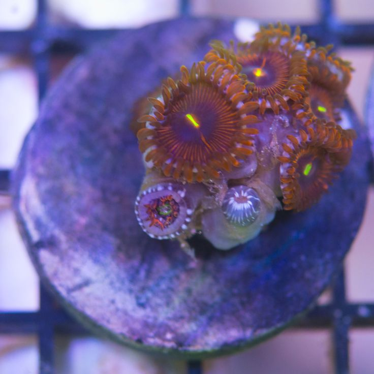 Radioactive Sunset Zoa: Zoanthus sp - Live Coral For Sale