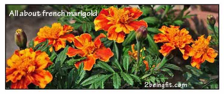 The scientific name of the french marigold isTagetes patula L. Scientific names Common names Tagetes corymbosa Sweet Amarillo (Span., Tag.) Tagetes erecta L. Dwarf marigold (Engl.) Tagetes ernstii H.Rob. & Nicolson Marigold (Engl.) Tagetes excelsa Soule French marigold (Engl.) Tagetes heterocarpha Rydb. Tagetes major L. Gaertn. [Illegitimate] Tagetes patula L. Tagetes remotiflora Kuntze Tagetes tenuifolia …