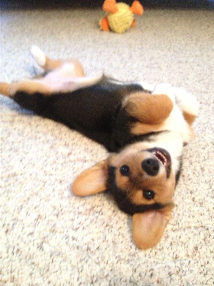 My happy little puppy! Pembroke welsh corgi