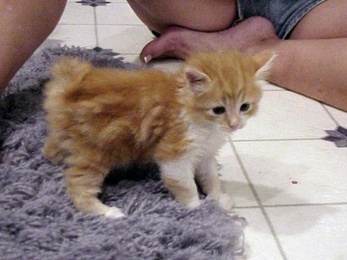 manx cats | Manx Cat | Cat & Kitty Site