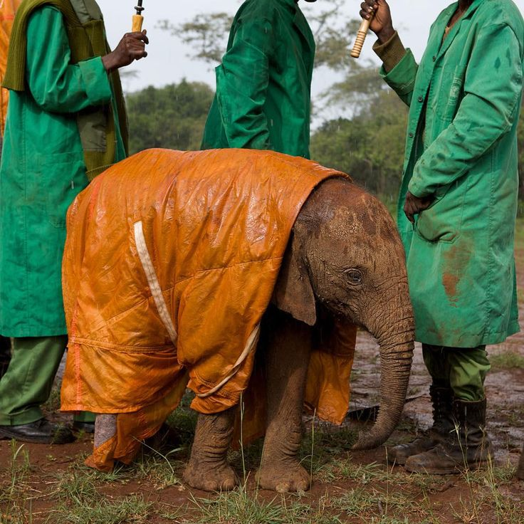 """""""Photo by @nickngs: Keepers protect a baby #elephant from the cold and #rain with a custom-made raincoat. #NairobiNationalPark #Kenya."""""""